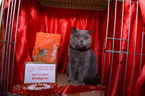 Pr. Jococa Credit Crunch winning Best in Show at the Essex Cat Club Show, photograph kindly taken by Steve Stanton