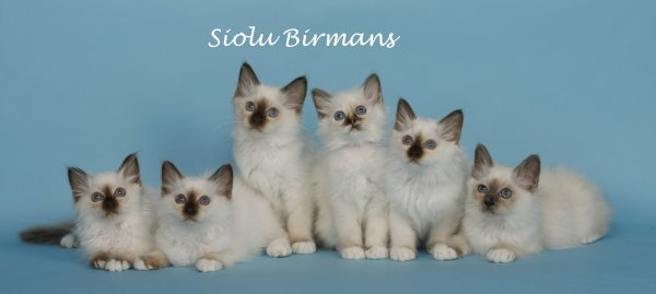 Siolu Birmans