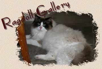 Ragdoll Gallery