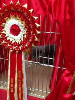 Berti winning Best in Show at the Essex Cat Club