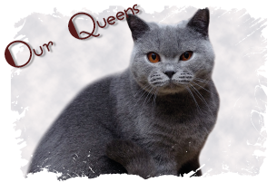 British Shorthair Queens